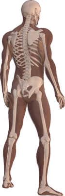 3D_Male_Skeleton_Anatomy1
